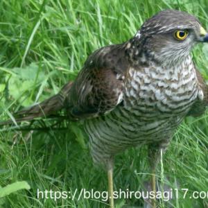 この夏にやってきた野鳥〜自然界は厳しいよ