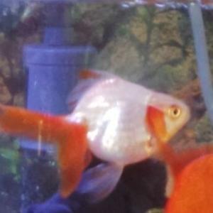 金魚のしろ、逝く