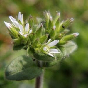 オランダミミナグサ・和蘭耳菜草