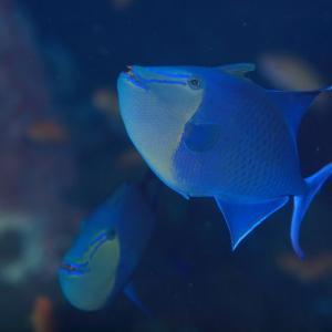 バリ島 ダイビング アカモンガラ