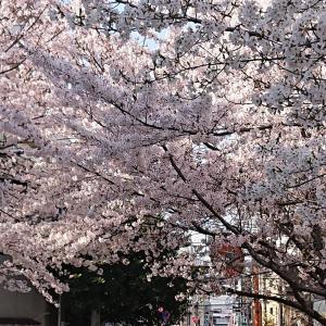 時代が移り行くときに桜