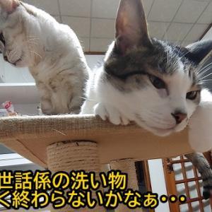 毛抜きを待つお猫さま!