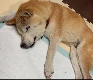 シニア犬の介護は大変だけれど、愛おしい!!