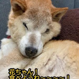 柴犬の花子さん頑張ってますよ!