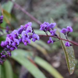 ハーゲンベルギアの花は、まるで胡蝶蘭のよう。