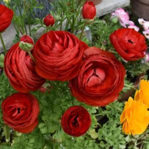バラの芽だし集中肥料 活力剤+液肥2回目
