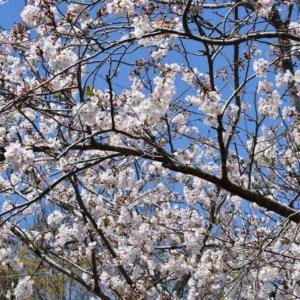 やっと桜満開でウグイスの姿もやっとカメラに!