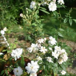 やっと梅雨があけて、バラの2番花もたくさん咲いて。