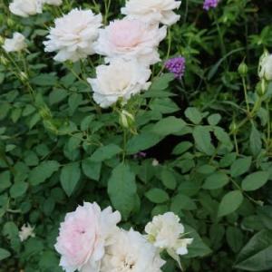 シャリマーがますます美しく、猛暑の庭に。