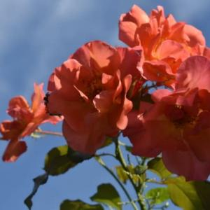 バラ消毒と新花壇づくりの続き