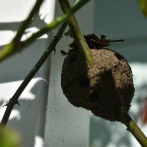 ピエール・ドゥ・ロンサールの枝にドロバチの巣