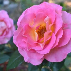 久しぶりに大きく咲いたピンクパラダイス
