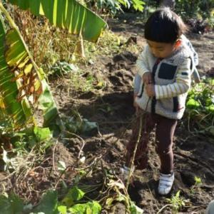 孫とさつまいものお芋掘り。