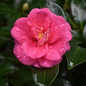寒椿と山茶花の花