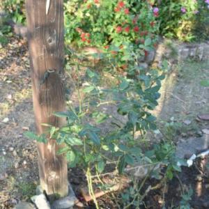 やっと植えられた、念願のウィリアムモリス、スノーグース