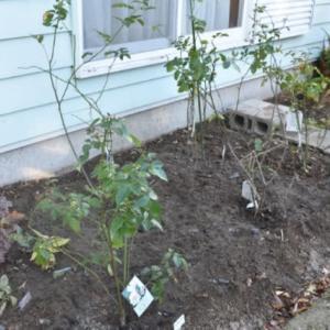 鉢バラ14本をやっと地植えに。