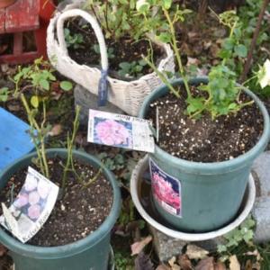 気になっていた鉢植えバラとクレマチスの植え替え