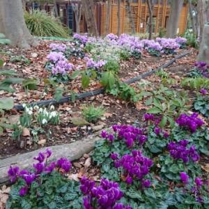 青紫色シクラメンが咲くガーデンパークへ。