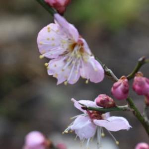 寒さ逆戻りの日に梅開花