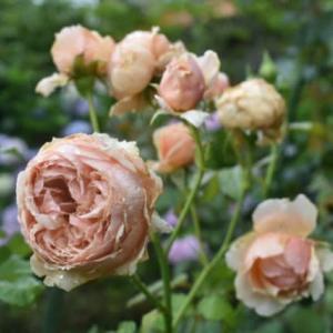 リラの花がボーリングするわけは。