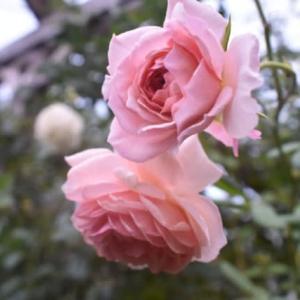 大雨のあとに咲いていたバラ