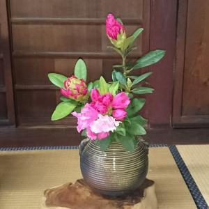 庭の西洋石楠花