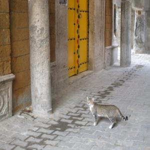 チュニジアの猫