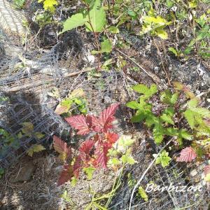 信州秘密基地 ニガイチゴ収穫大作戦。。。