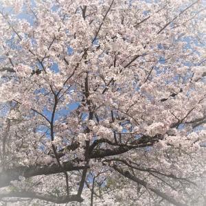 桜をみてきました