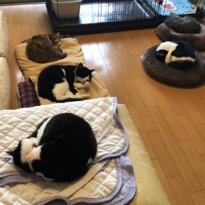アンモニャイトと猫団子