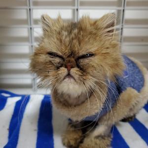 ペルシャ猫、桜子の近況