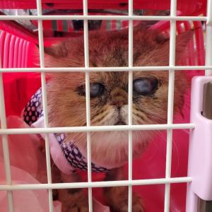 ペルシャ猫、ラブ君の診察