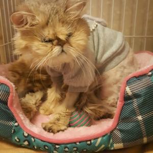 ペルシャ猫、サマンサの妊娠と堕胎