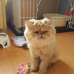 ペルシャ猫、サマンサとタバサ里親様募集!!