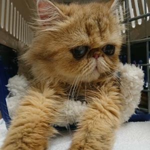 ペルシャ猫、るぅちゃん里親様募集!!