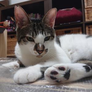 9月27日は譲渡会!!お見合い待ちの大人猫をご紹介♪