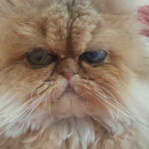 ペルシャ猫達のその後と、家族に迎えた体験談