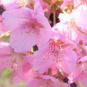 河津桜が満開!気分転換に馬見丘陵公園へ(^_^)/