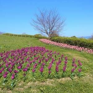 奈良も桜が開花しました。チューリップのお祭りは中止です…。