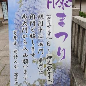 藤井寺の葛井寺で藤まつりが始まりました(^_^)