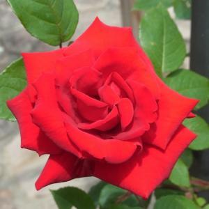 松尾寺(奈良・大和郡山)へ 薔薇を見に行きました(^_^)