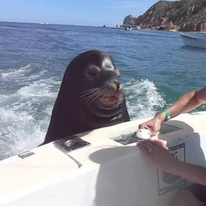 かなり賢く、釣ったお魚を催促してくるアシカ!!