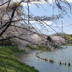 4姉妹わんちゃんと桜並木。