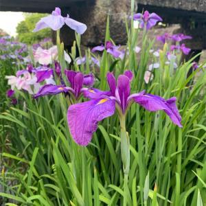 【季節の花】高瀬裏川花しょうぶまつり