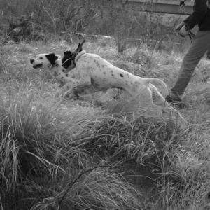 鳥猟犬を選ぶ。ポインター使いから見たセター