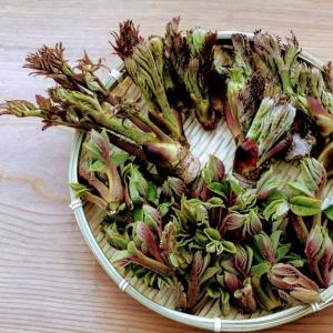 タラの芽とオニグルミを採ってきたよ