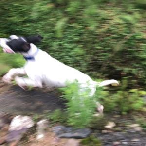 指示犬は、訓練より系統が優先する。