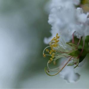 百日紅の花 写真展