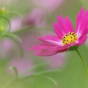 秋桜の花 写真展