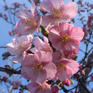 多摩川沿いの河津桜&水仙
